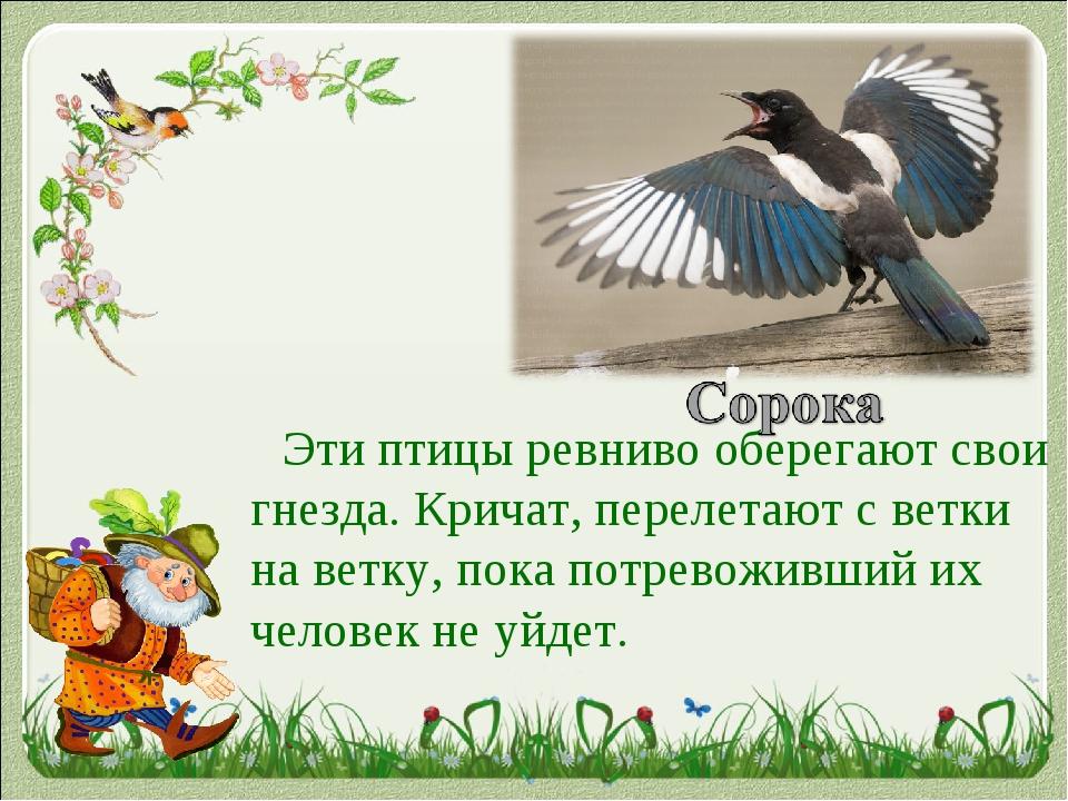 Эти птицы ревниво оберегают свои гнезда. Кричат, перелетают с ветки на ветку...