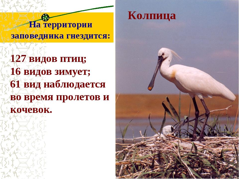 На территории заповедника гнездится: 127 видов птиц; 16 видов зимует; 61 вид...