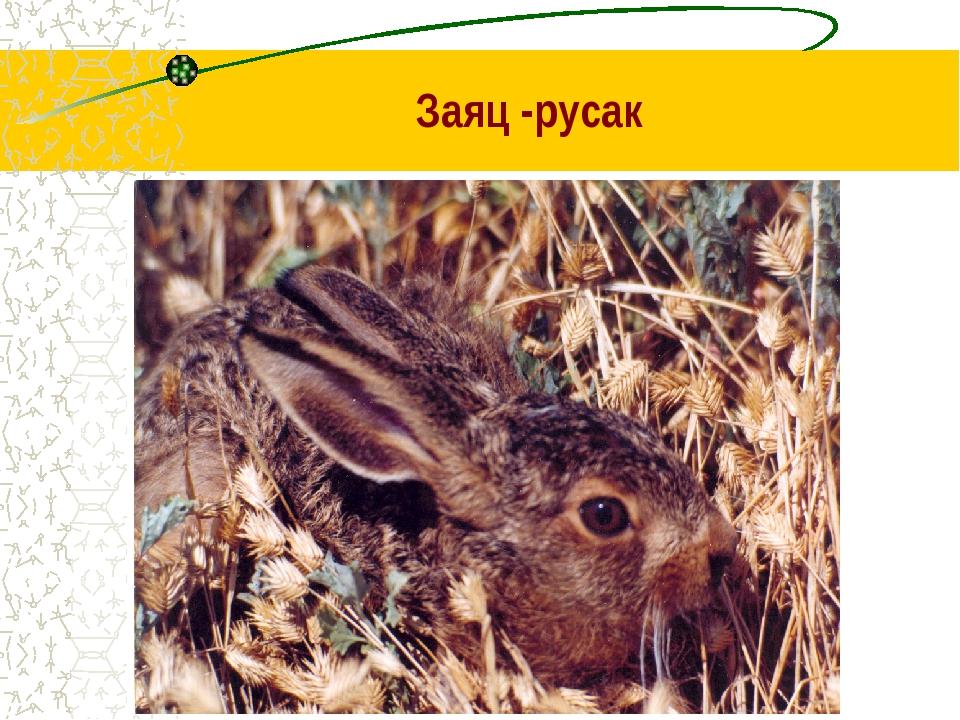 Заяц -русак