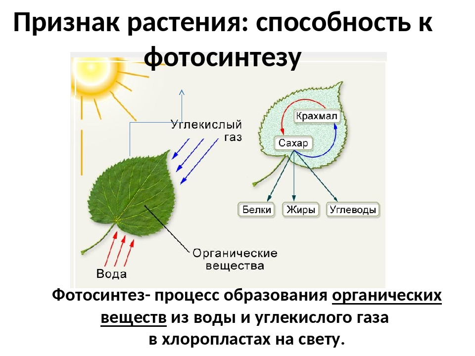 Красота растений фото подсолнухов сандры