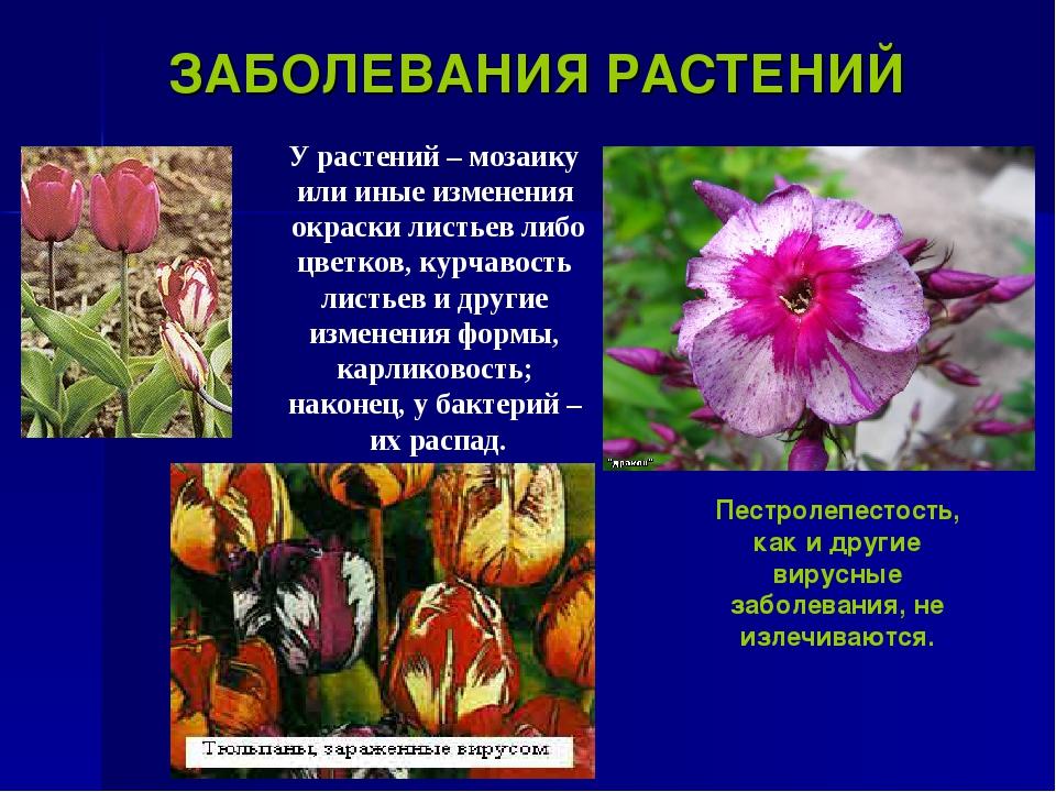ЗАБОЛЕВАНИЯ РАСТЕНИЙ У растений – мозаику или иные изменения окраски листьев...