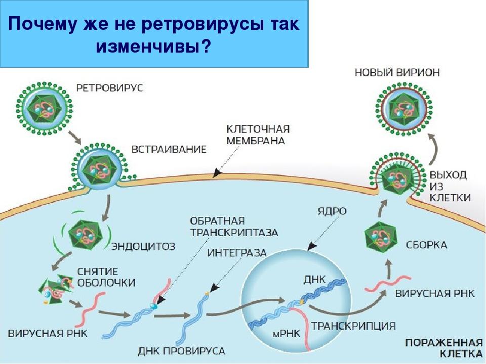 Почему же не ретровирусы так изменчивы?