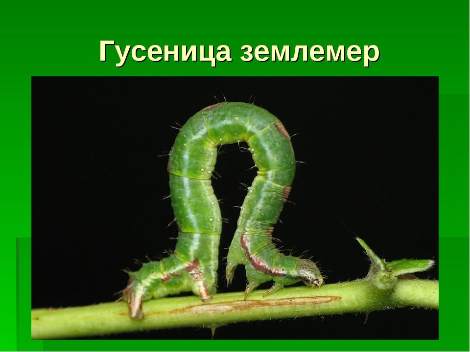 Гусеница землемер