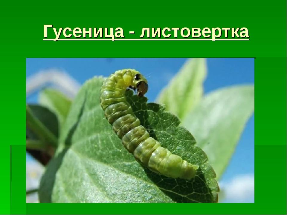 Гусеница - листовертка