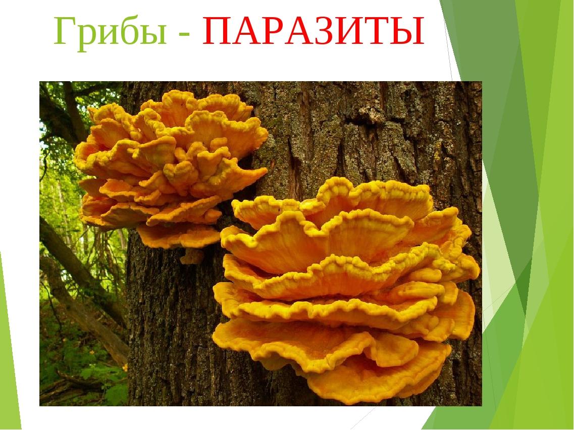 Грибы - ПАРАЗИТЫ