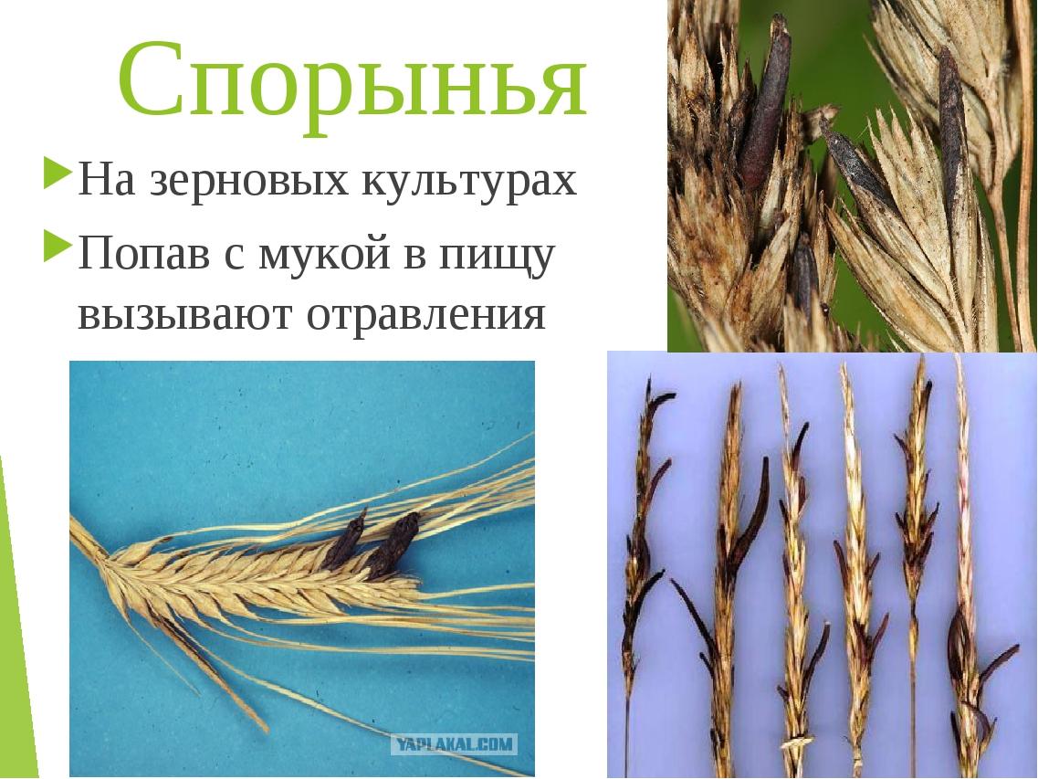 Спорынья На зерновых культурах Попав с мукой в пищу вызывают отравления