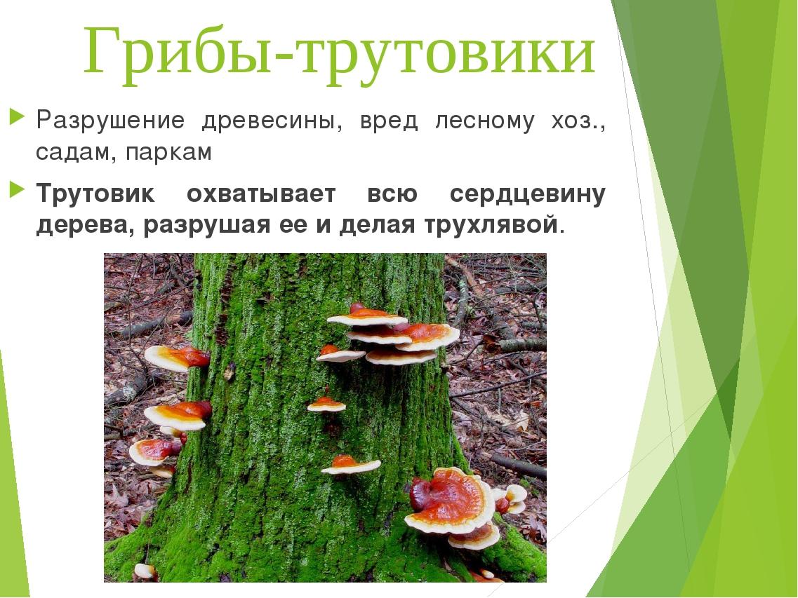 Грибы-трутовики Разрушение древесины, вред лесному хоз., садам, паркам Трутов...