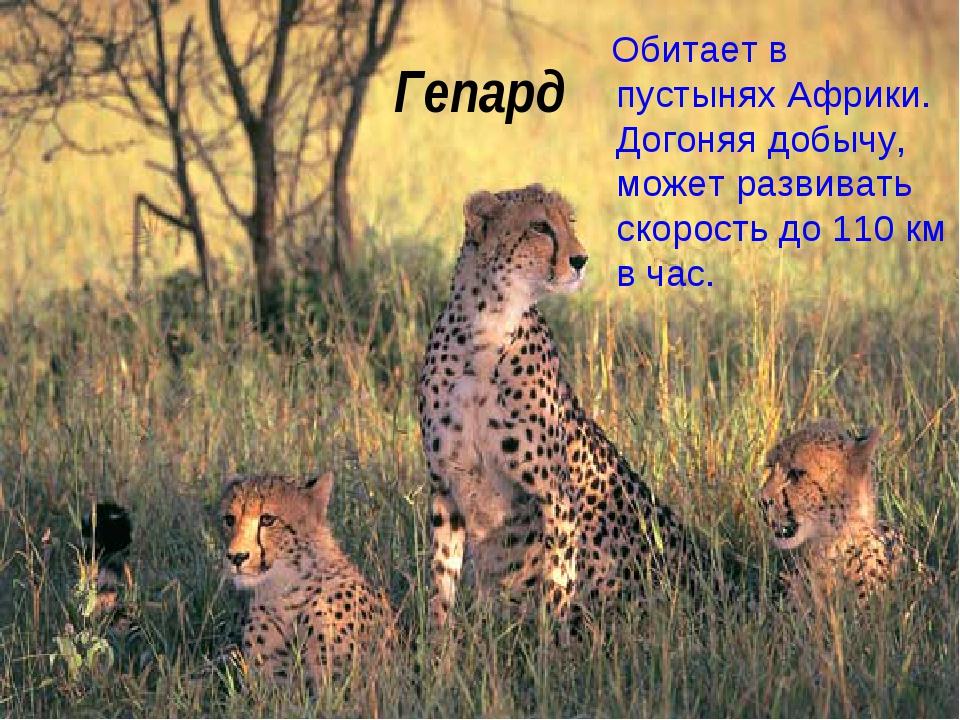Гепард Обитает в пустынях Африки. Догоняя добычу, может развивать скорость до...