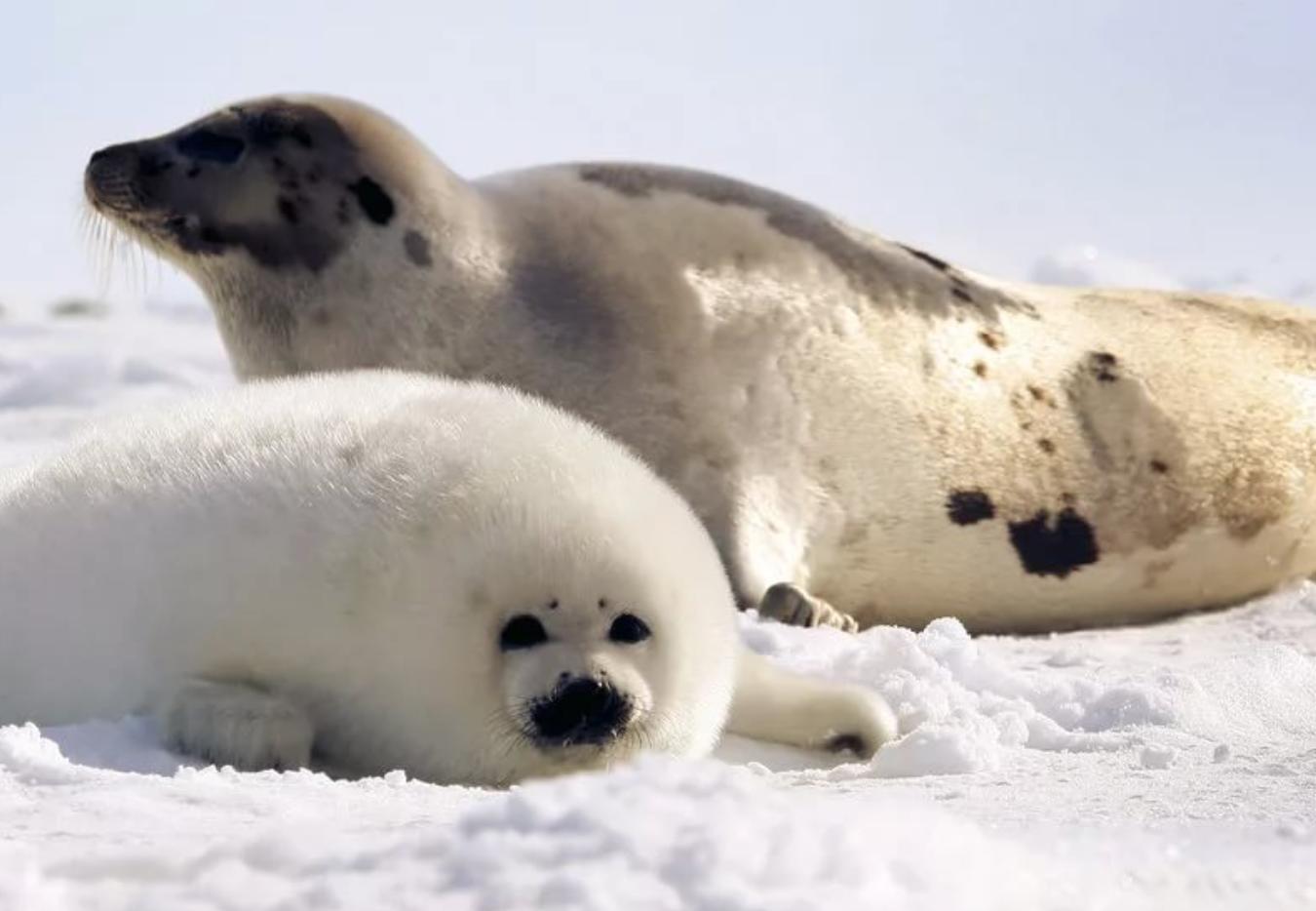 все о тюленях и их картинки характер
