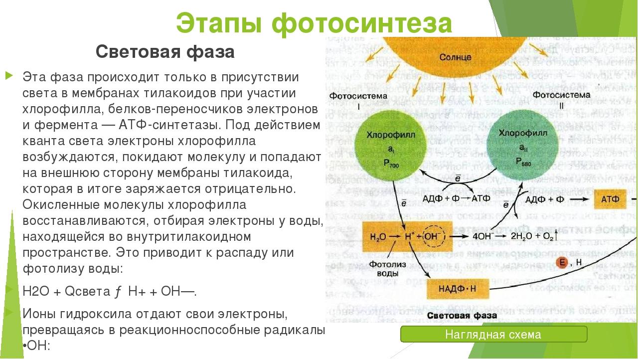 голову, как образуется атф при фотосинтезе новый