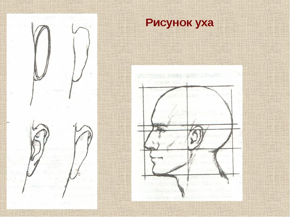 Рисунок уха