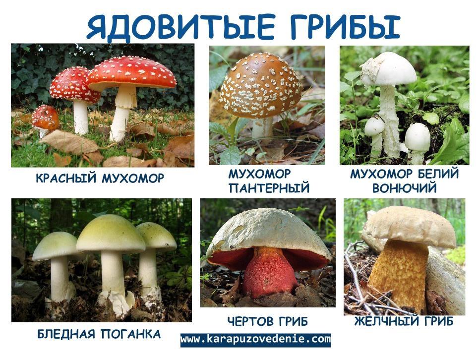 Картинки грибов несъедобные
