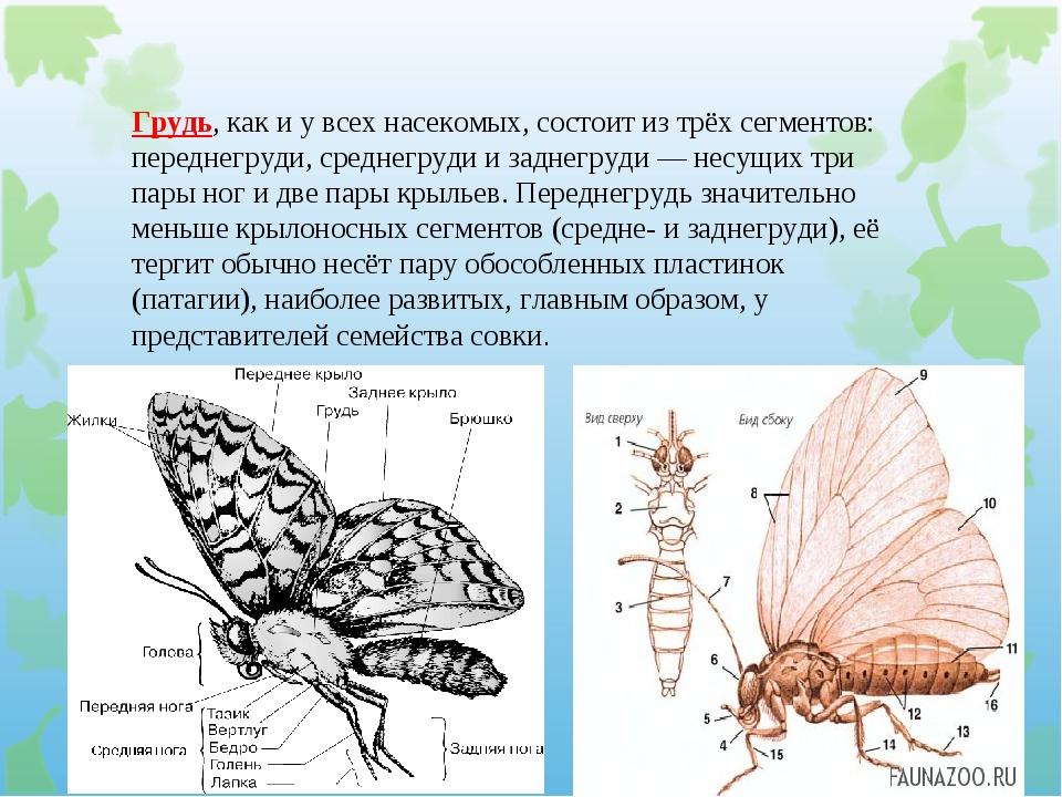Грудь, как и у всех насекомых, состоит из трёх сегментов: переднегруди, средн...