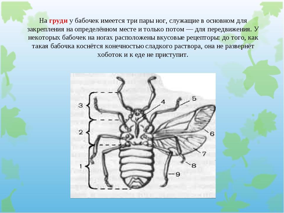 На груди у бабочек имеется три пары ног, служащие в основном для закрепления...