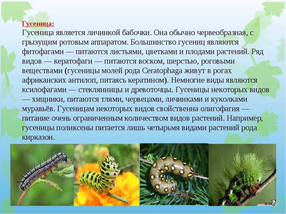 Гусеница: Гусеница является личинкой бабочки. Она обычно червеобразная, с гры...