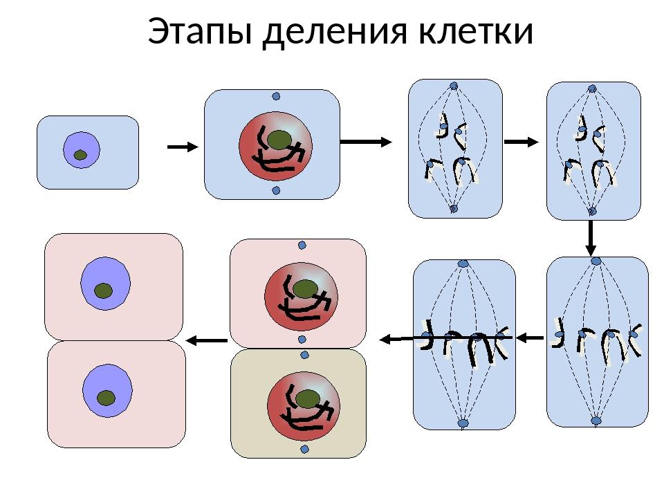 Картинки стадии деления клетки