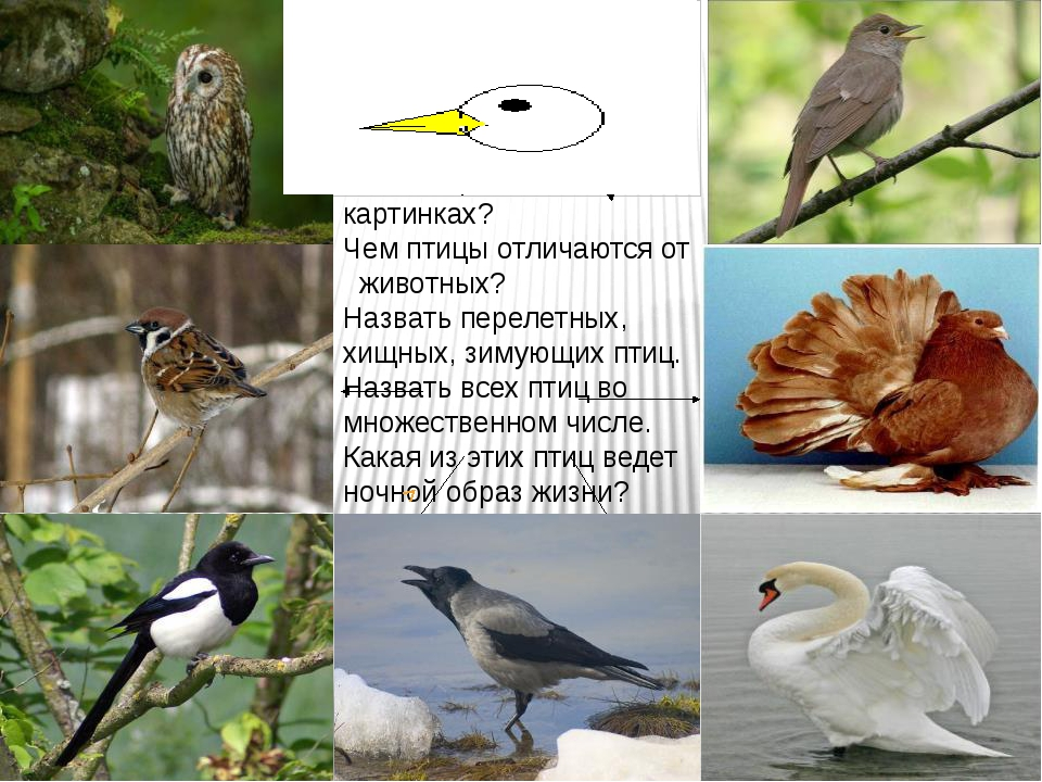 Картинки отличия птиц
