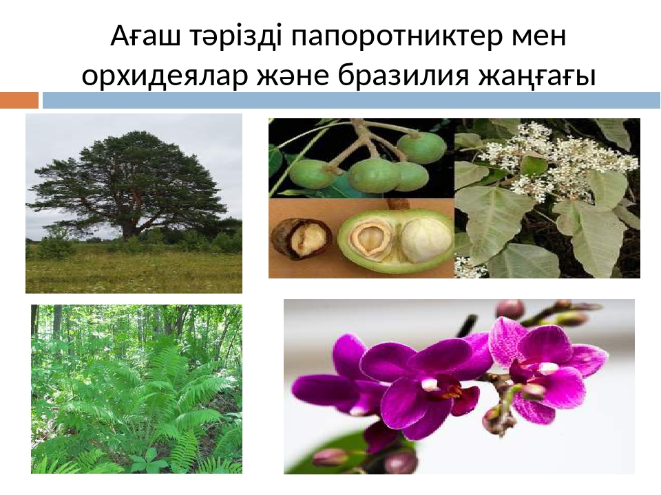 Ағаш тәрізді папоротниктер мен орхидеялар және бразилия жаңғағы