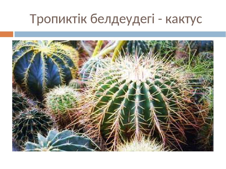Тропиктік белдеудегі - кактус