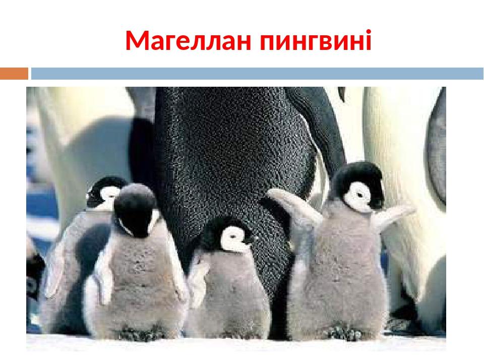 Магеллан пингвині