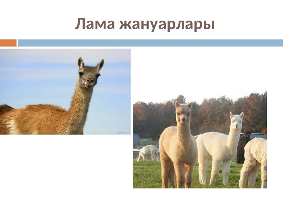 Лама жануарлары