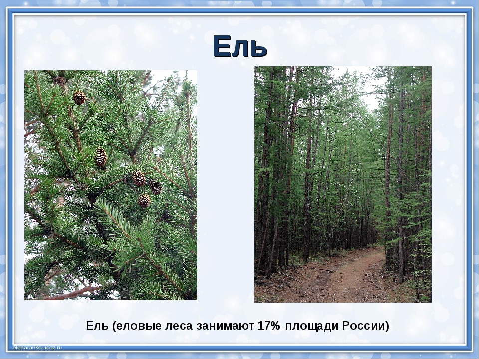 Ель (еловые леса занимают 17% площади России) Ель