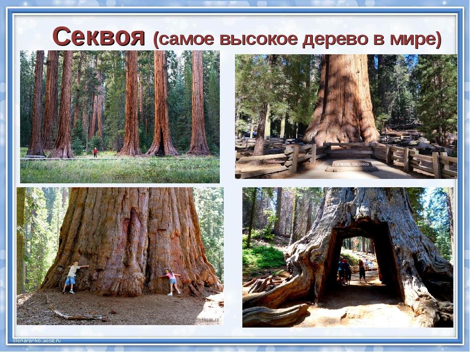 Секвоя (самое высокое дерево в мире)