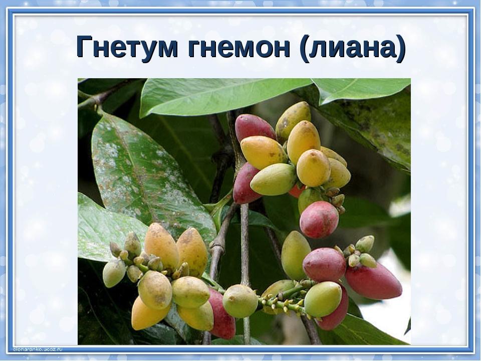 Гнетум гнемон (лиана)