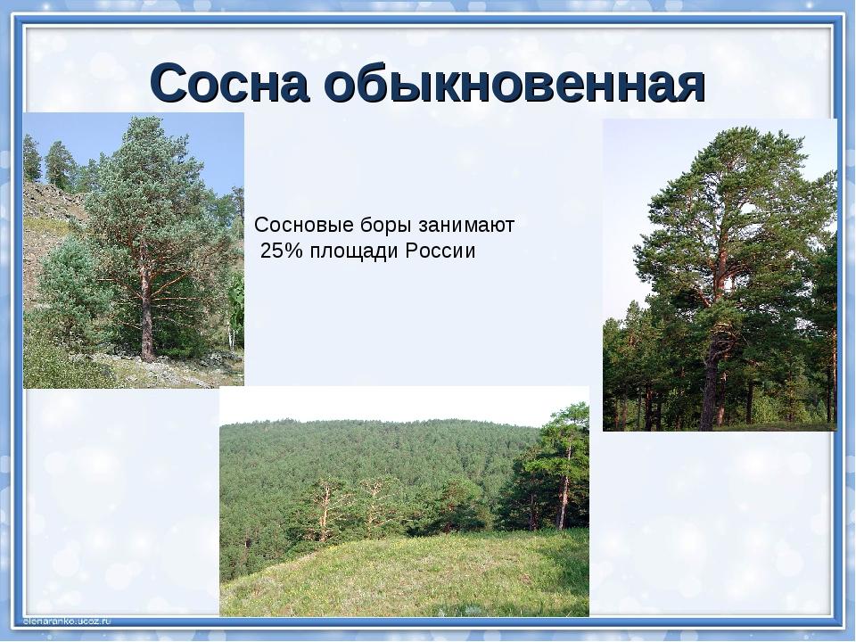 Сосна обыкновенная Сосновые боры занимают 25% площади России