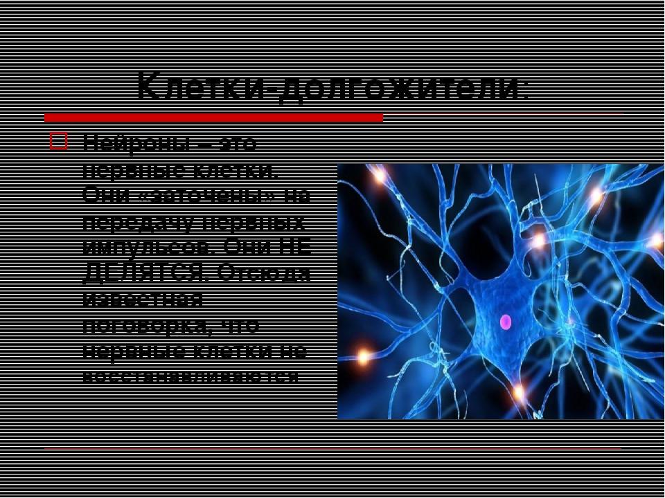 Клетки-долгожители: Нейроны – это нервные клетки. Они «заточены» на передачу...