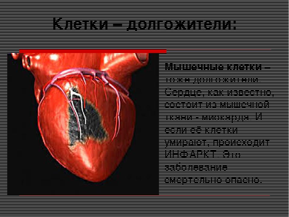 Клетки – долгожители: Мышечные клетки – тоже долгожители. Сердце, как известн...