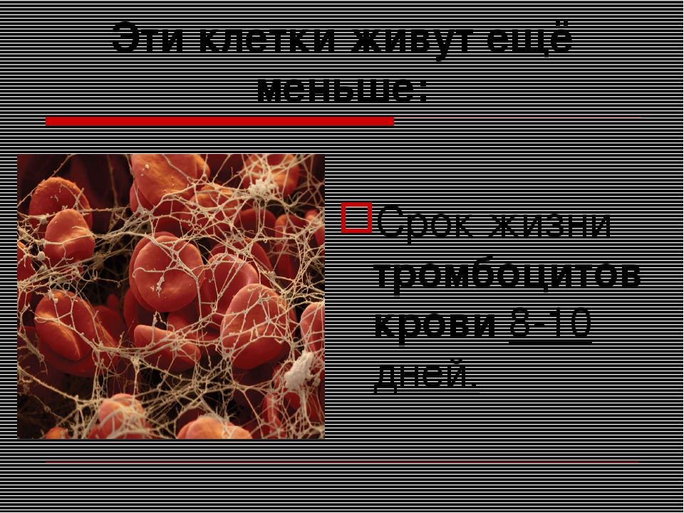 Эти клетки живут ещё меньше: Срок жизни тромбоцитов крови 8-10 дней.
