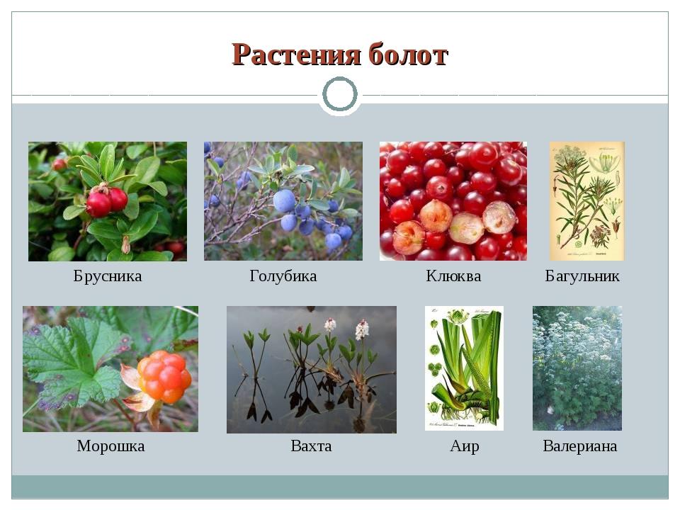 Растения болот фото и названия