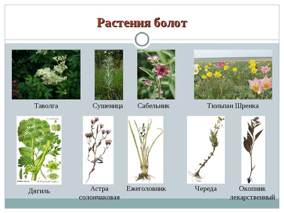 вас нет болотные растения картинки с названием один самых распространенных