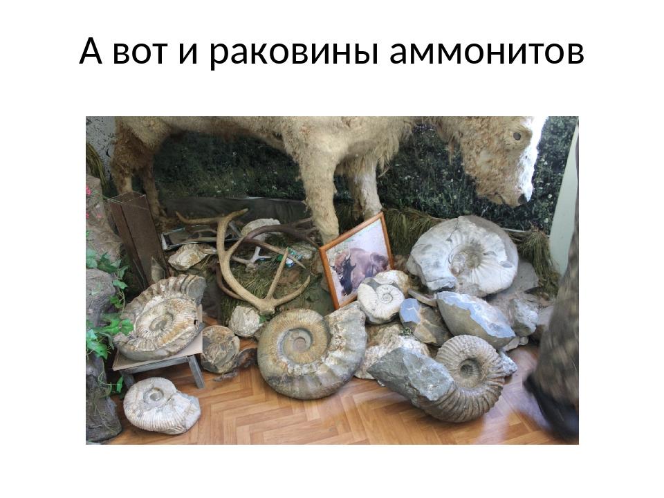 А вот и раковины аммонитов