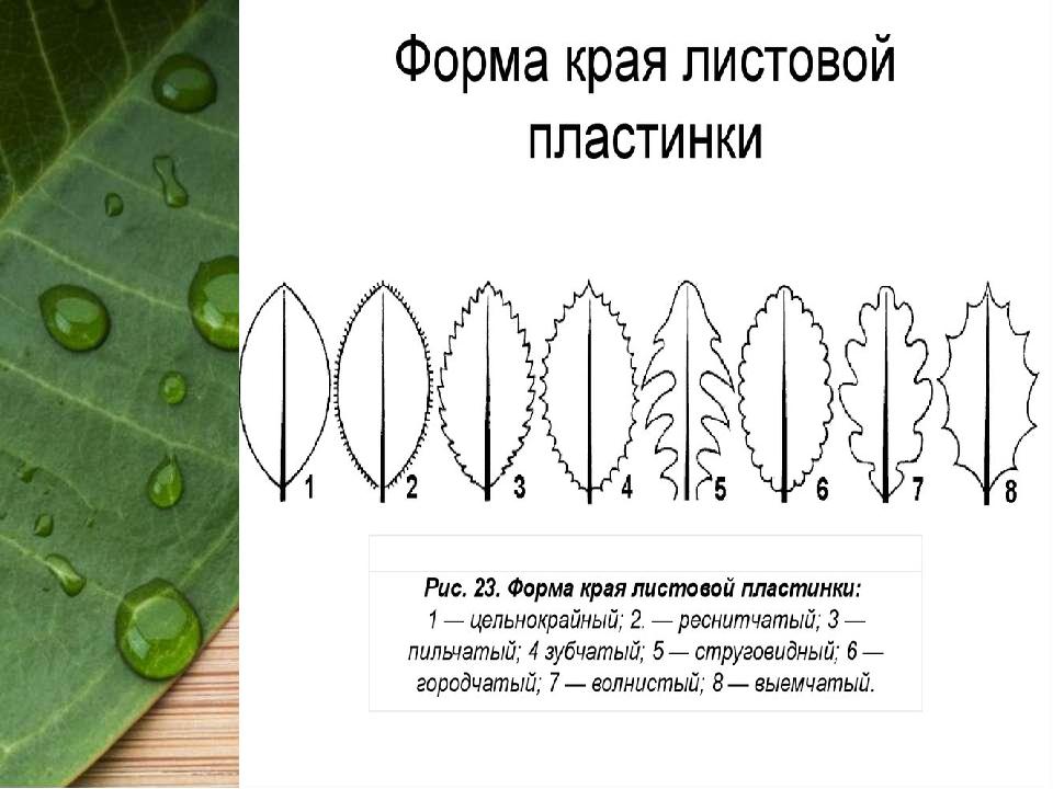 формы края листовой пластинки картинки фонтанки без риска