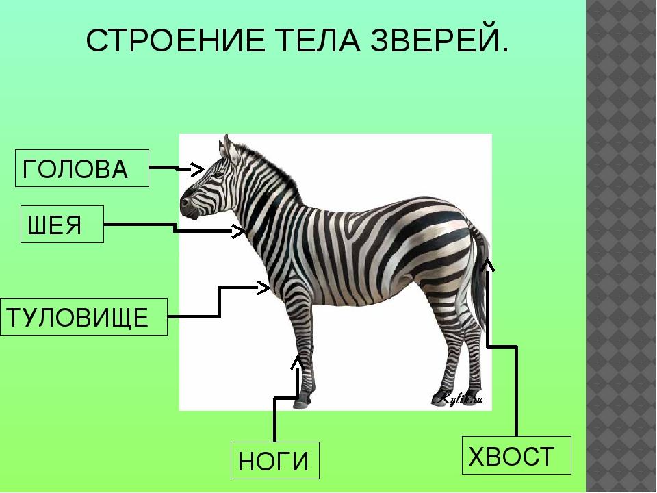 Строение животны картинки