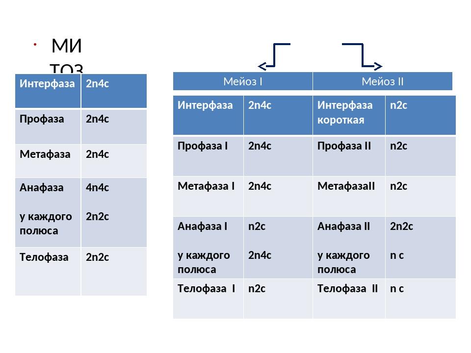 МИТОЗ МЕЙОЗ Интерфаза 2n4c Профаза 2n4c Метафаза 2n4c Анафаза у каждого полю...