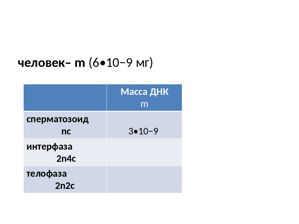 человек– m (6•10−9 мг) Масса ДНК m сперматозоид nc 3•10−9 интерфаза 2n4c тел...