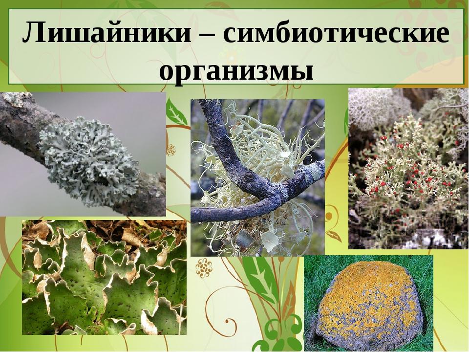 Лишайники – симбиотические организмы