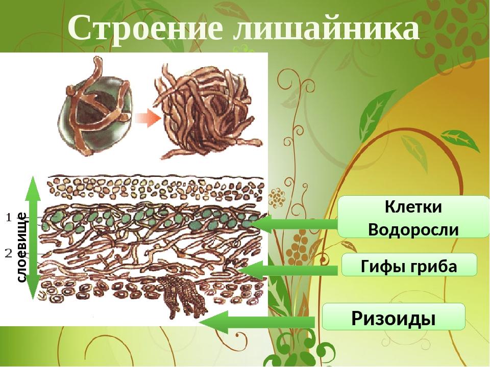 Строение лишайника Клетки Водоросли Гифы гриба Ризоиды слоевище
