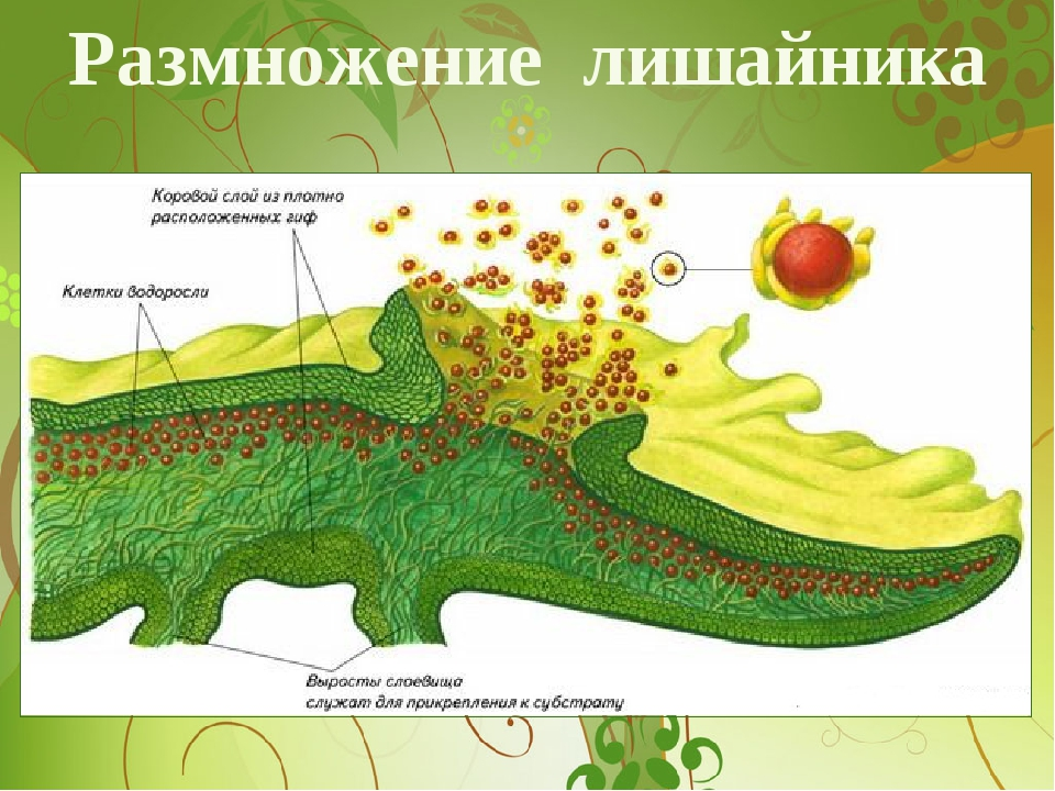 Размножение лишайника