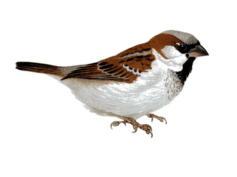 зимующие птицы картинка воробей все