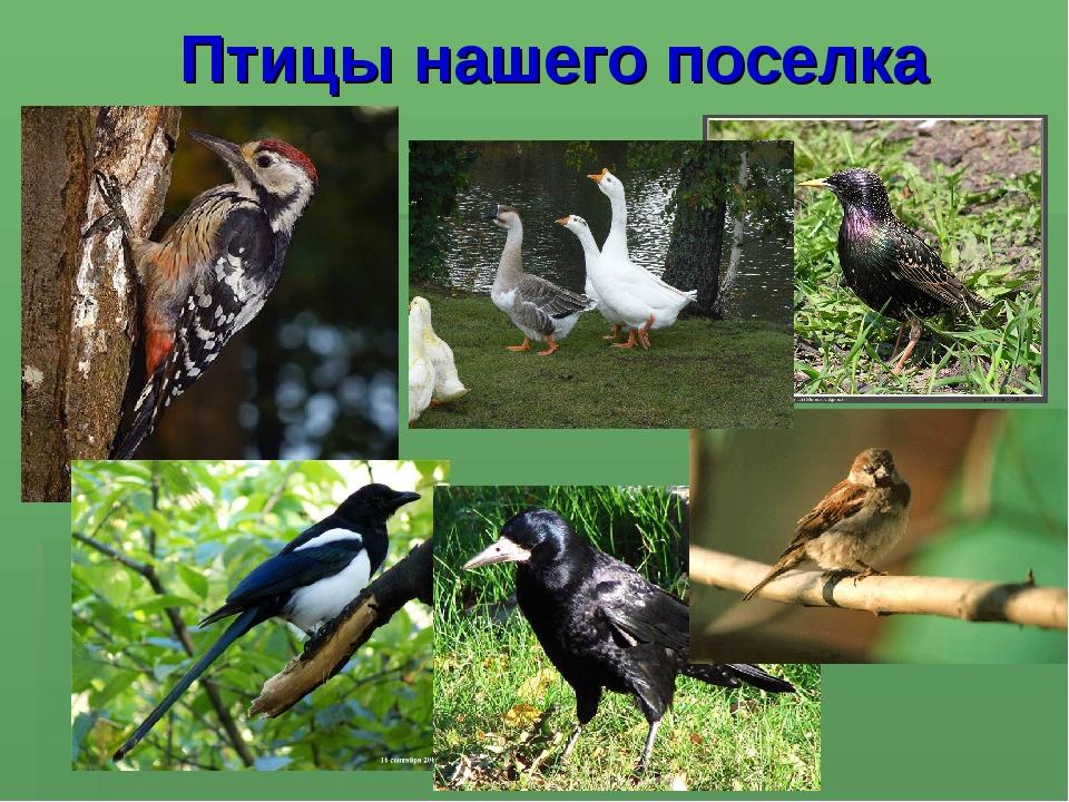 Птицы нашего поселка