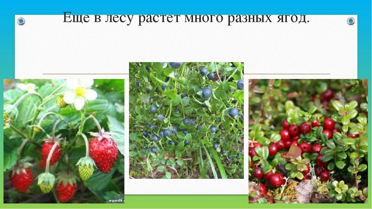 Еще в лесу рaстет много рaзных ягод.