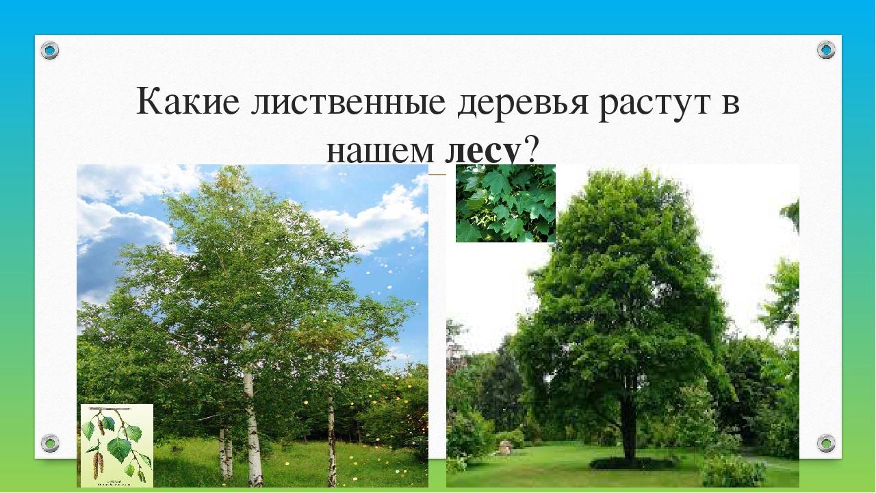 Какие лиственные деревья растут в нашемлесу?