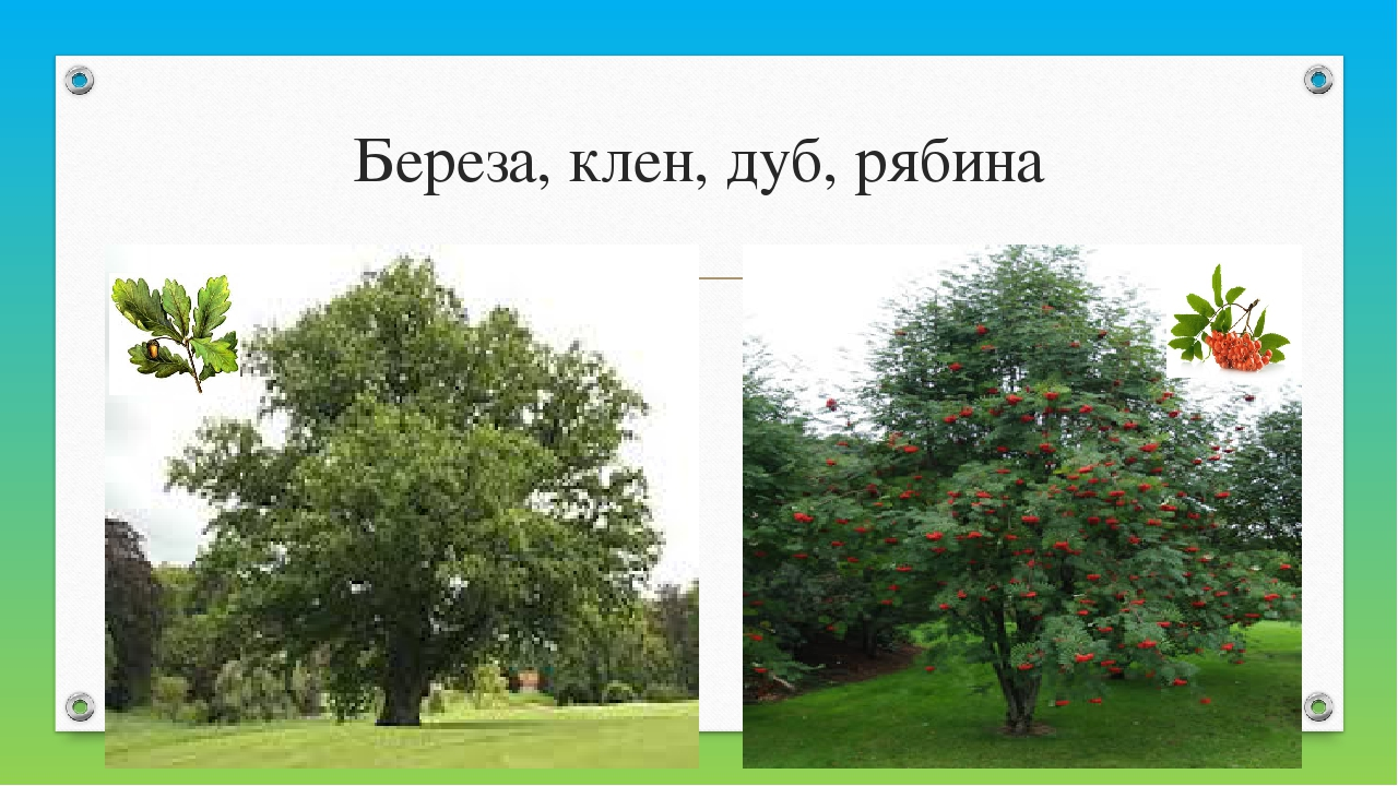 Березa, клен, дуб, рябинa