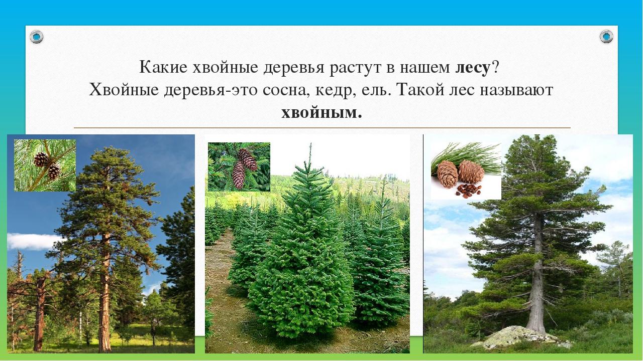 Какие хвойные деревья растут в нашемлесу? Хвойные деревья-это сосна, кедр,...
