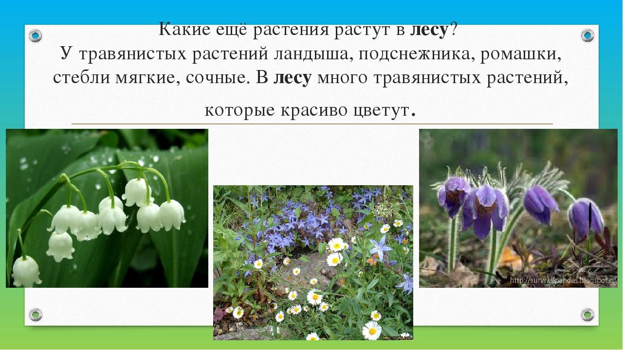 Какие ещё растения растут влесу? У травянистых растений лaндышa, подснежник...
