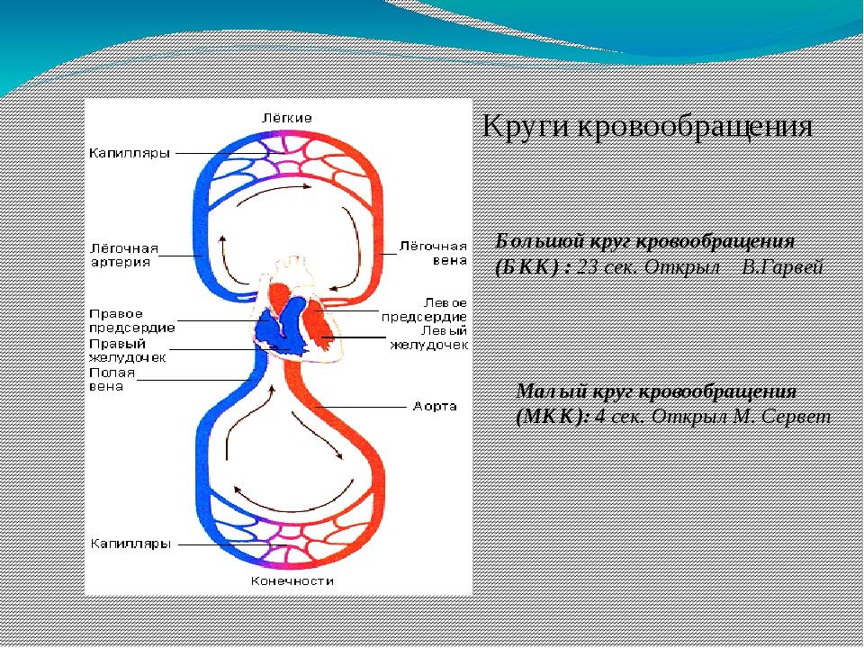 Круги кровообращения Большой круг кровообращения (БКК) : 23 сек. Открыл В.Гар...